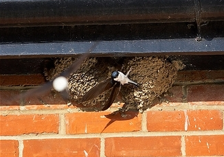 Birds Nesting under Eaves